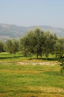 2011-02-27-olivetree.jpg