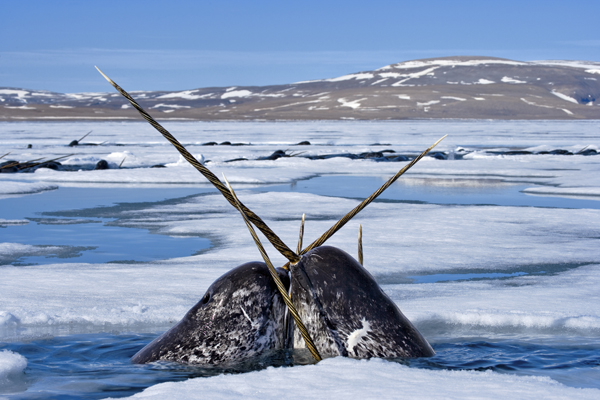 2011-03-03-NicklenNationalGeographic_Narwhals.jpg