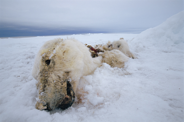 2011-03-03-NicklenNationalGeographic_deadpolarbear.jpg