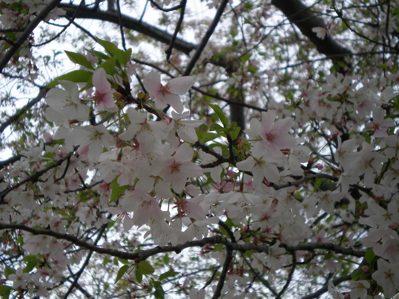 2011-03-09-CherryBlossoms1.jpg