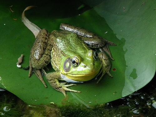 frog with human teeth
