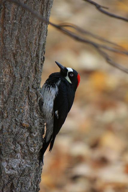 2011-03-30-AcornwoodpeckerVeloSteveFLICKR.jpg
