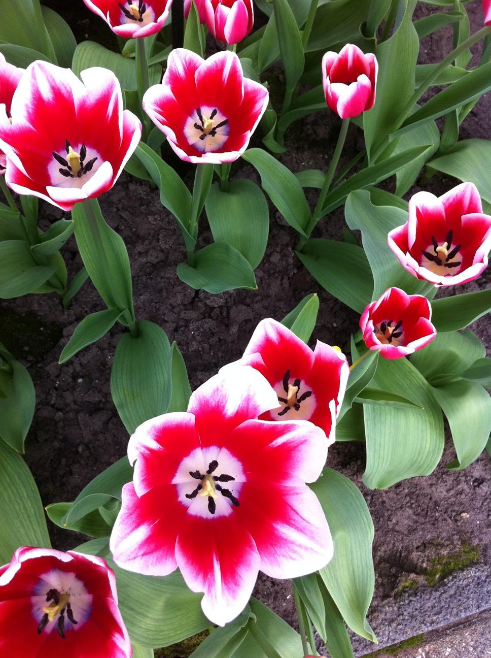 The Most Beautiful Bulb Garden In The World Keukenhofphotos