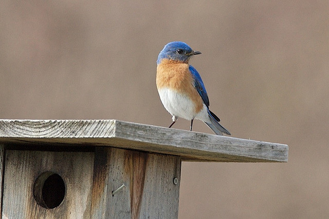 2011-05-26-bluebirdkeithcarverFLICKR.jpg