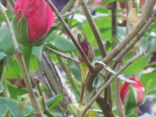 2011-06-14-Rose4.jpg