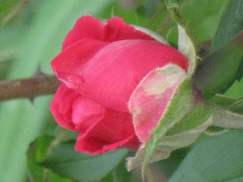 2011-06-14-Rose6.jpg