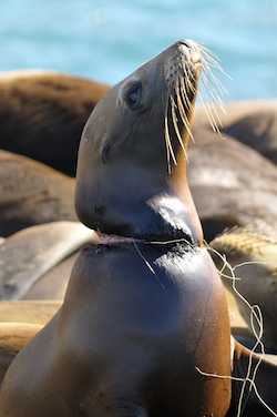 Entangled sea lion image by Jim Patterson
