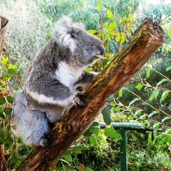 2011-07-06-koala2.jpg