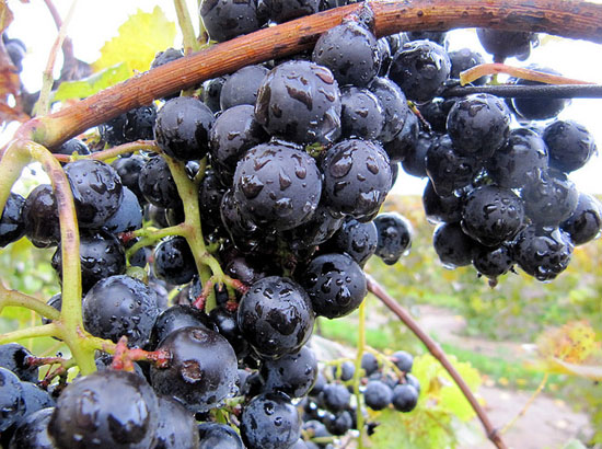 2011-08-10-fennvalleyvineyard.jpg