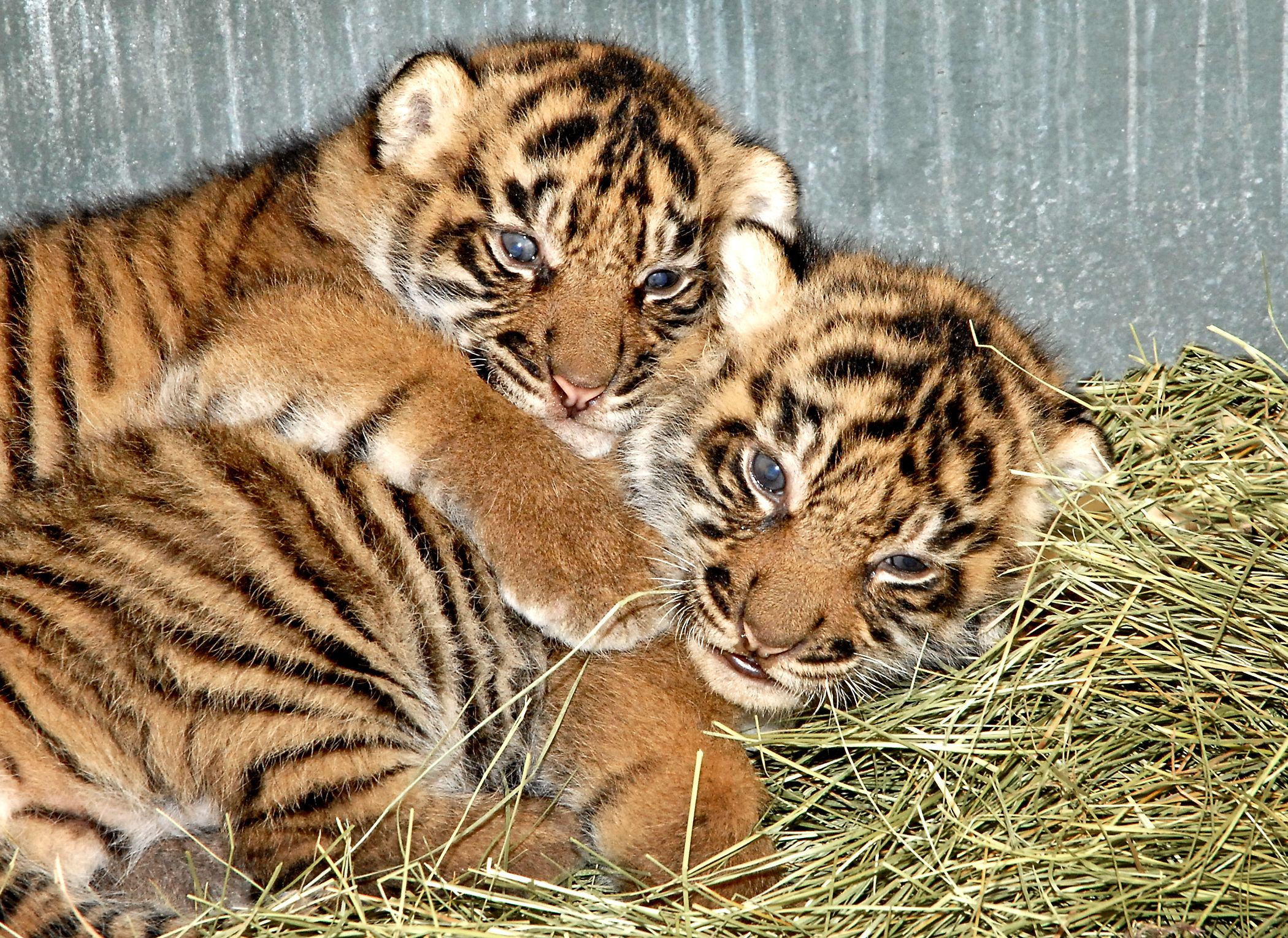 LA Zoo Welcomes Baby Tigers, Otter Pups, And Komodo Dragon ...