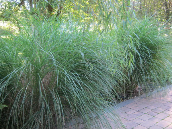 Let your grass grow huffpost for Best tall grasses for privacy