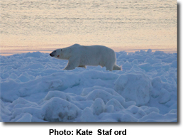 Polar Bear At Sunset by Kate Stafford