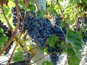 2011-10-13-OrganicWineGrapes.jpg