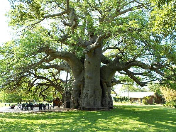 2012-01-05-baobab2resize.jpg
