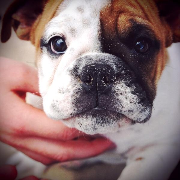 2012-01-06-Bulldog.jpg