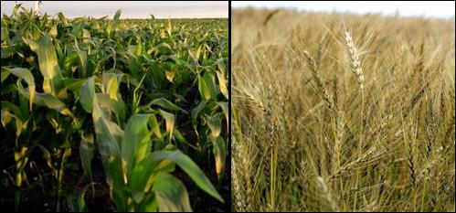 2012-01-06-cornwheat2.jpg