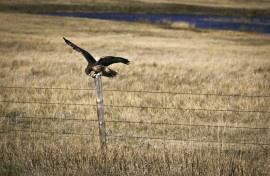 2012-02-01-hawk.jpg