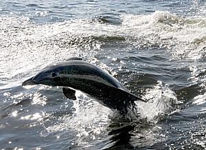 2012-02-14-PuntaGorda011212_028e3cKarenRubindolphin.jpg