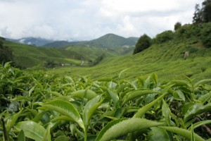 2012-02-29-camelliasinensis.jpeg