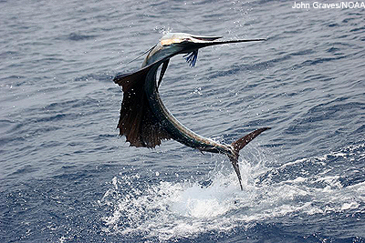 gulf sailfish