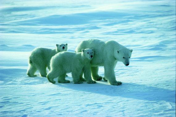 2012-03-16-polarbears_1735082_b.jpg