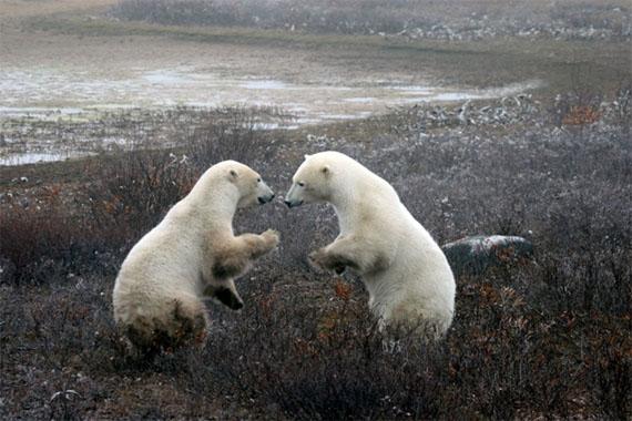 2012-03-16-polarbears_1735082_d.jpg