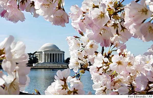 2012-03-23-cherry_blossom1.jpg