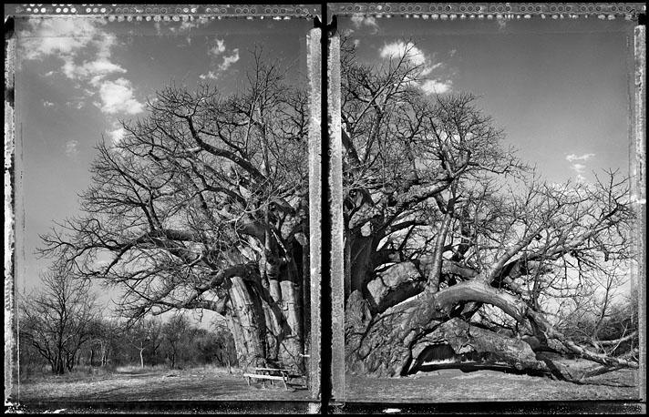 2012-03-26-ling_baobab_tree_of_generations_11_2009_jumbo.jpg