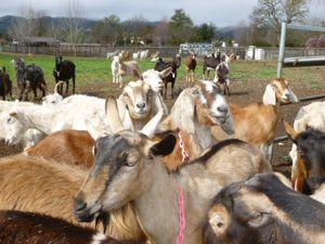 2012-04-16-goatsgalore.jpg