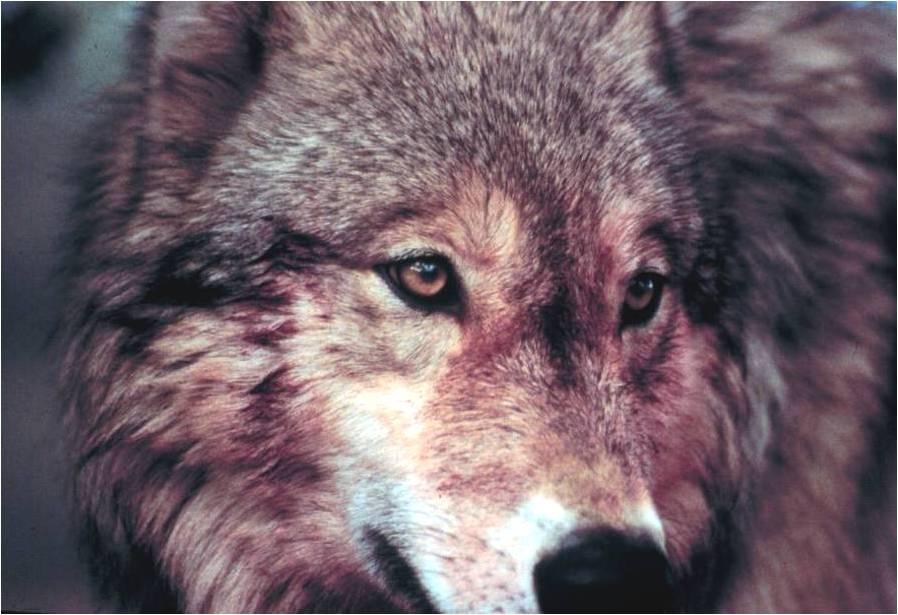 2012-04-24-Wolfhead.jpg