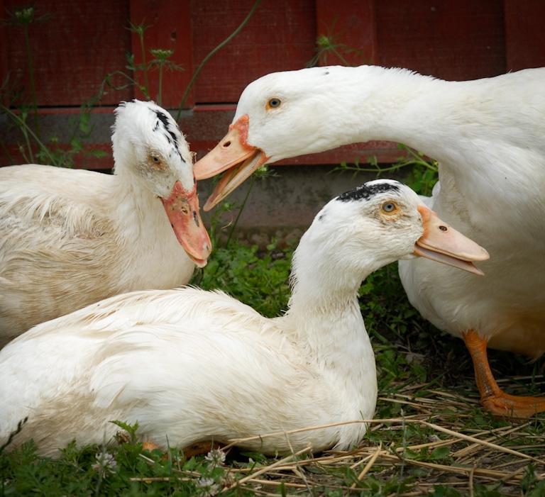 2012-04-26-FoieGrasDucks.jpg
