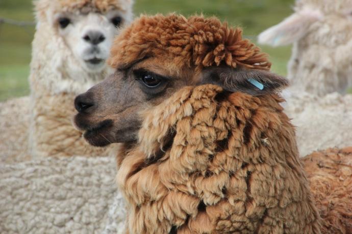 2012-05-01-alpaca.jpg