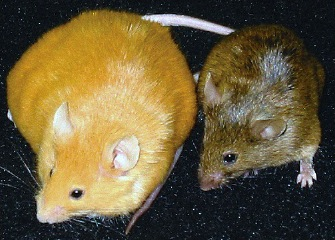 agouti mice in epigenetic study