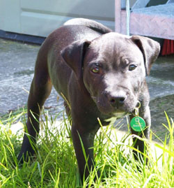 Lennox as a puppy