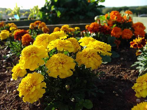 2012-06-15-marigoldArtyGuerillas.jpg