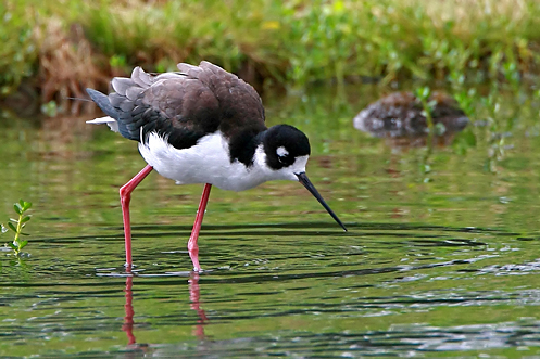 2012-06-20-HawaiianStilt.jpg