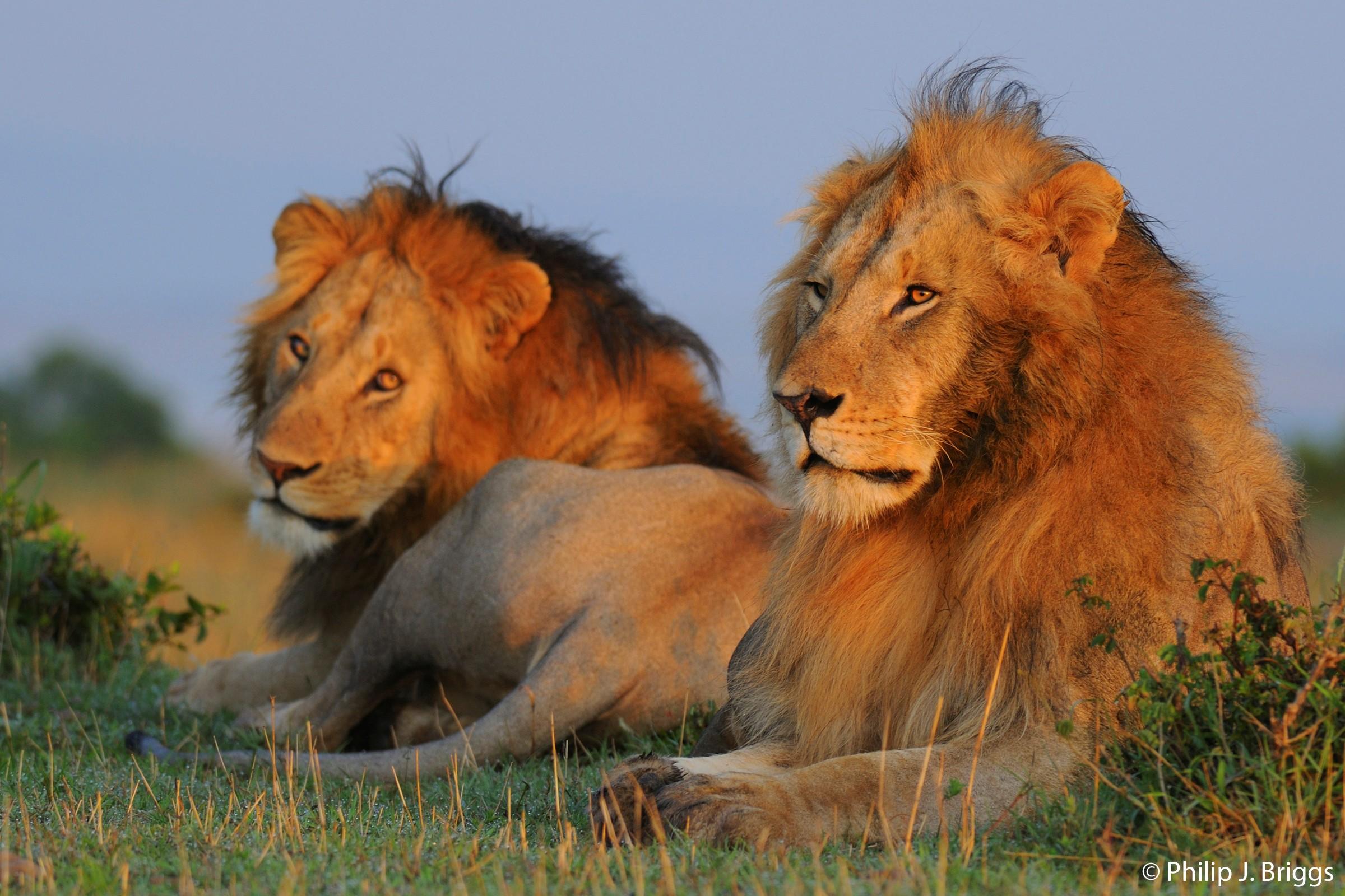 how long lions live