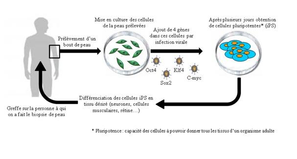 2012-06-27-Thrapiecellulaireetcellulessouches.jpeg