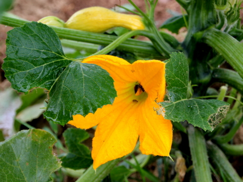 2012-08-02-yellowsquash.JPG