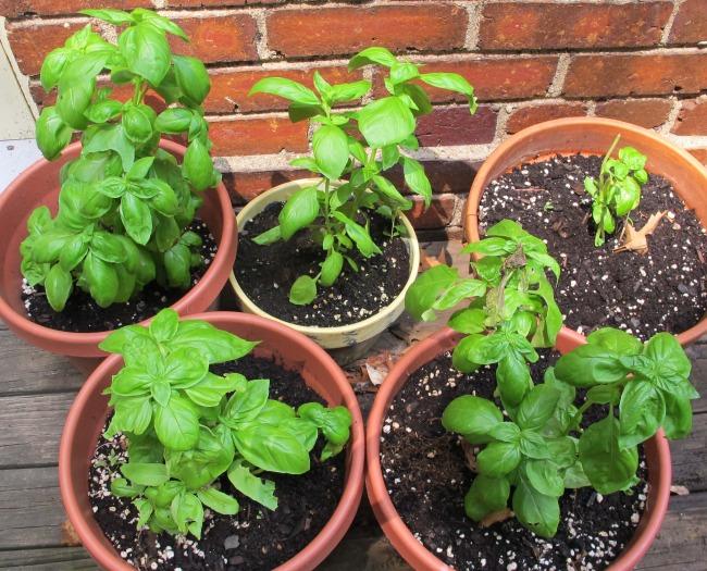 2012-08-15-20120801pestobasilgrowing.jpg