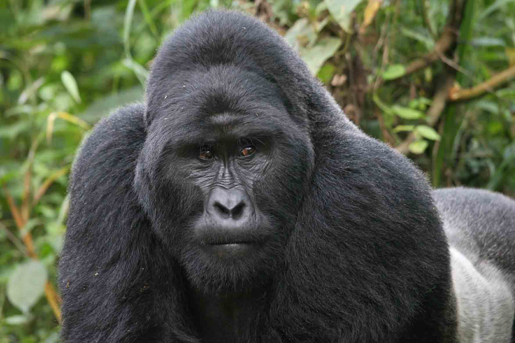 Image result for Gorilla pictures