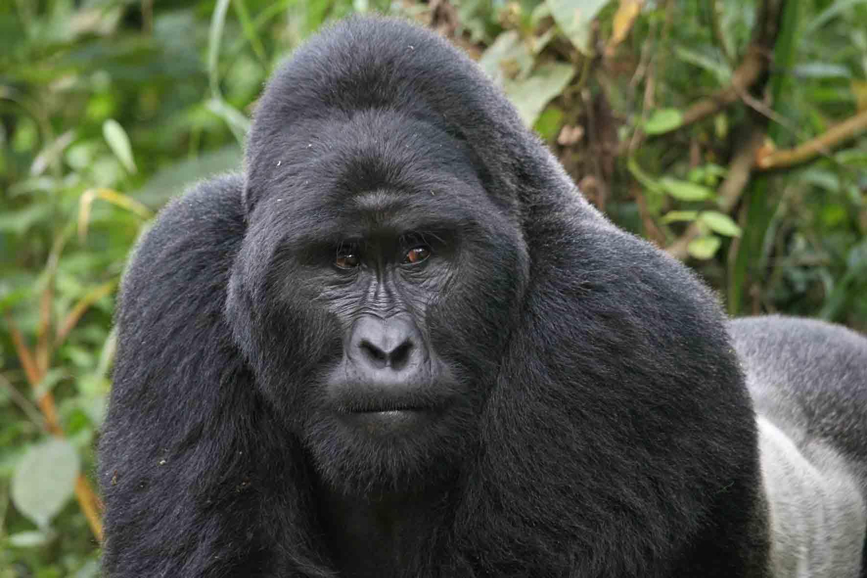 2012-08-18-GorillaSilverback6.jpg