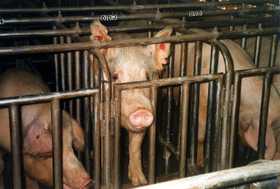 2012-09-07-pigs6_300_1_credit_Farm_Sanctuary.jpg