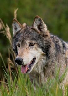 2012-09-10-malewolfcropped.jpg