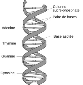 2012-09-11-DNA_structure_and_bases_FR2.jpg