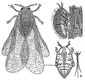 2012-09-13-Dactylosphaera_vitifolii_1_meyers_1888_v13_p6212.jpg