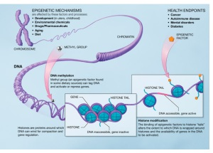 2012-09-13-Epigenetic_mechanisms2.jpg