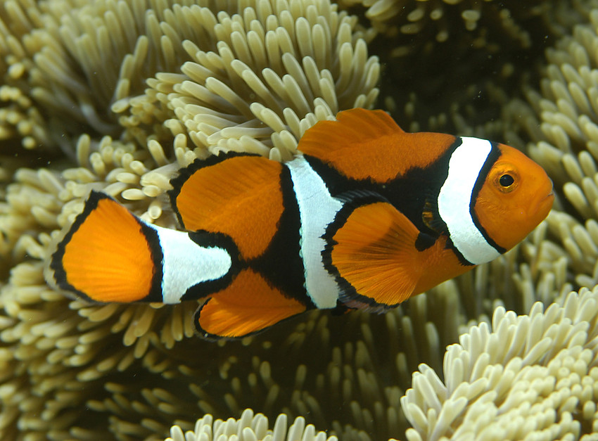 2012-09-18-RS9676_Amphiprion_percula_orange_clownfish_CoralCoE_Flickr_FPWC_commercial_use_okscr.jpg