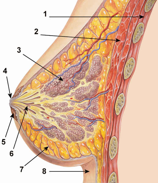 2012-09-19-518pxBreast_anatomy_normal_scheme.jpeg