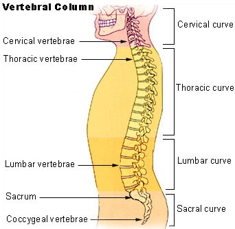 2012-09-19-Illu_vertebral_column2.jpg